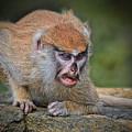 Baby Patas Monkey On Guard  by Jim Fitzpatrick