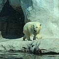 Baby Polar Bear by Michiale Schneider