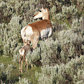 Baby Pronghorn Feeding by Dan Sproul