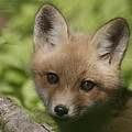 Baby Red Fox by Robert Pearson