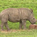 Baby Rhino Chilling by Chad Kroll