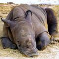 Baby Rhino Resting by Terri Mills