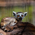 Baby Ring-tailed Lemur by CJ Park
