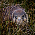 Baby Sage Grouse 2 by Reed Tim