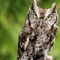 Baby Screech Owl by Anthony Sacco