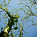 Baby Spring Tree Leaves 02 by Ryan Kelly