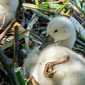 Baby Swan Resting by Linda Howes
