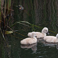Baby Swans by Henry Russell