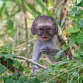 Baby Vervet Monkey by Jennifer Ludlum