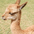 Baby Vicuna by Megan Thompson