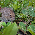 Baby Vole by Asbed Iskedjian