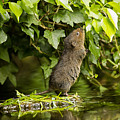 Baby Water Vole Stretching Up by Jenny Hibbert