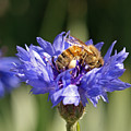 Bachelor Button And Bee by Heather Coen
