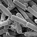 Bacillus Thuringiensis Bacteria by Scimat
