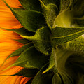 Back Angle Of Sunflower by Tommy Brison