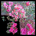 Back Door Bougainvillea by Eikoni Images