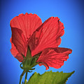 Back Lighting The Red Hibiscus  by Robert Bales
