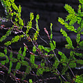 Back-lit Conifer Branches by David Frederick