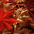 Back-lit Japanese Maple Leaf On Dried Leaves by Anna Lisa Yoder