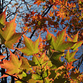 Back-lit Sugar Maple Leaves From Below by Anna Lisa Yoder
