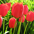 Back Lit Tulips 2 by Lyle Crump