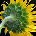 Back Of Sunflower by Bob Neiman