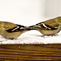 Back To Back American Gold Finches by Douglas Barnett