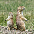 Back To Back Prairie Dogs by Ira Marcus