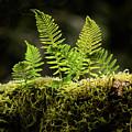 Backlit Baby Ferns by Jean Noren