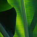 Backlit Banana Leaves by Bob Coates