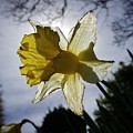 Backlit Daffodil by Richard Brookes