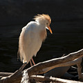 Backlit Egret by Sandra Bronstein