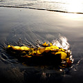 Backlit Kelp by PJ  Cloud