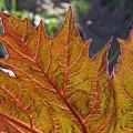 Backlit Leaf 2 by Mo Barton