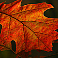 Backlit Leaf by Shari Jardina