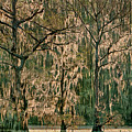 Backlit Moss-covered Trees Caddo Lake Texas by Dave Welling