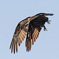 Backlit Osprey Takes Flight by Tony Hake