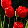 Backlit Red Tulips by Byron Varvarigos