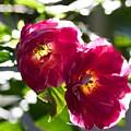 Backlit Roses by Anna Porter