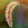 Backlit Seed Head In Fall by Carolyn Derstine