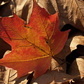 Backlit Sugar Maple Leaf In Dried Leaves by Anna Lisa Yoder