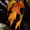 Backlit Sugar Maple Leaves With Trunk by Anna Lisa Yoder