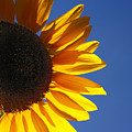 Backlit Sunflower by Gaspar Avila