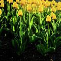 Backlit Tulips by Scott Sawyer