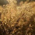 Backlit Wildflower Seeds In Autumn by Vishwanath Bhat