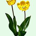 Backlit Yellow Tulips by Susan Savad