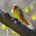 Backyard Bird Female Northern Cardinal by Herbert L Fields Jr