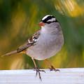 Backyard Bird - White-crowned Sparrow by Kerri Farley