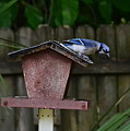 Backyard Blue Jay by Carol  Bradley
