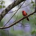 Backyard Cardinal by JG Thompson